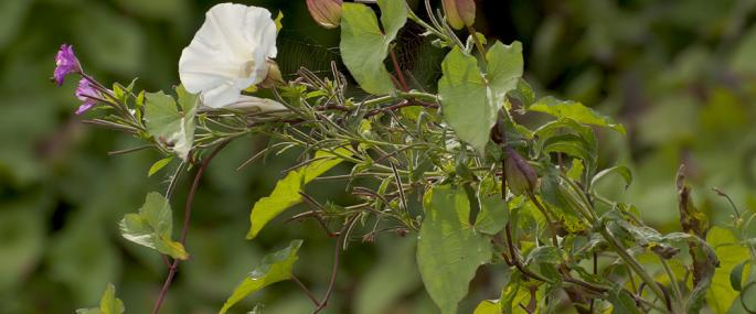 Hedge bindweed - northeastwildlife.co.uk - northeastwildlife.co.uk