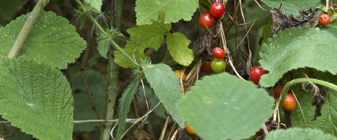 Black bryony - northeastwildlife.co.uk - northeastwildlife.co.uk
