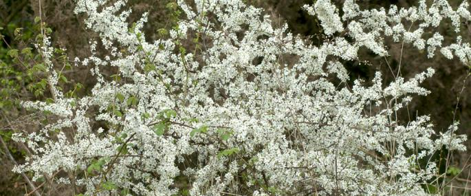 Flowering blackthorn - northeastwildlife.co.uk - northeastwildlife.co.uk
