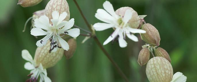 Bladder campion - northeastwildlife.co.uk - northeastwildlife.co.uk