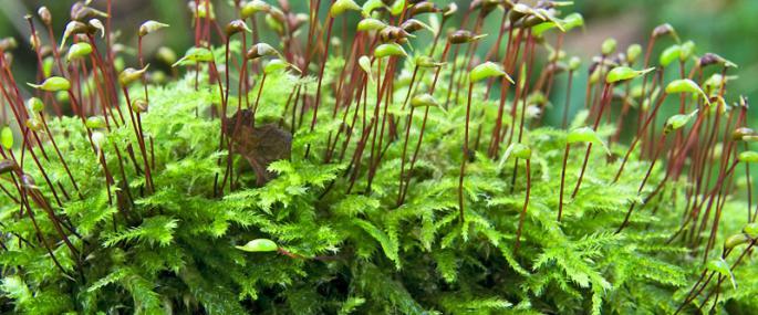 Ordinary Moss   The Wildlife Trusts