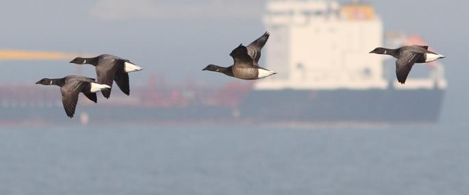 Brent geese in flight - Steve Ashton - Steve Ashton