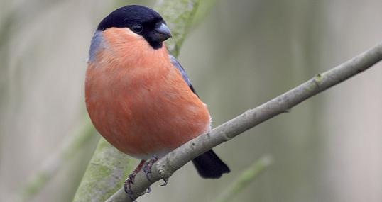 Male bullfinch - northeastwildlife.co.uk - northeastwildlife.co.uk