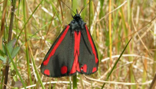 Cinnabar moth - Richard Burkmar - Richard Burkmar