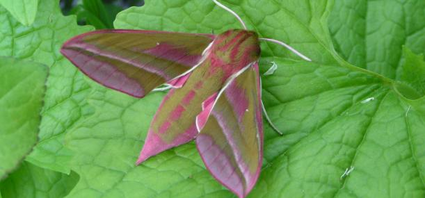 Elephant hawkmoth - Richard Burkmar - Richard Burkmar
