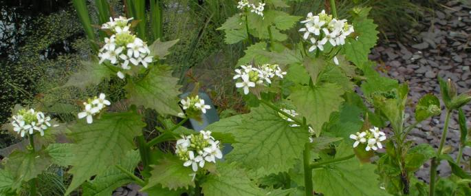 Garlic mustard - Richard Burkmar - Richard Burkmar
