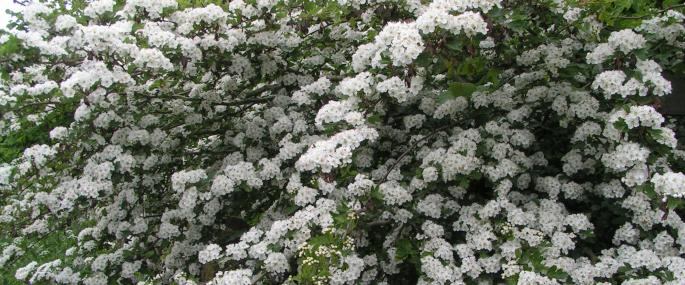 Hawthorn in flower - Richard Burkmar - Richard Burkmar