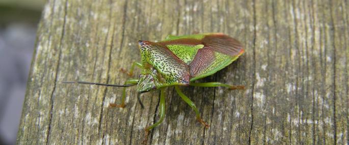 Hawthorn shieldbug - Richard Burkmar - Richard Burkmar