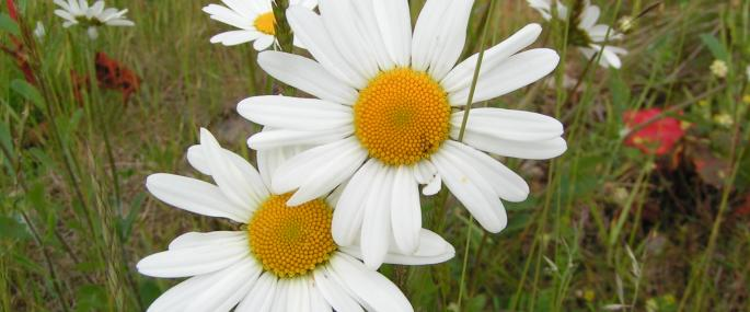Oxeye daisy - Richard Burkmar - Richard Burkmar