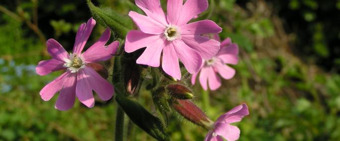 Red campion - Richard Burkmar - Richard Burkmar