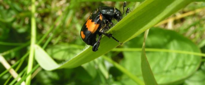 Burying beetle - Richard Burkmar - Richard Burkmar