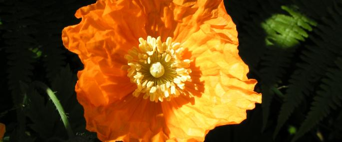 Welsh poppy - Richard Burkmar - Richard Burkmar