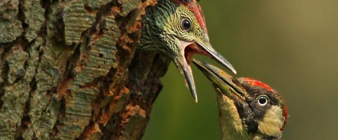 - Green Woodpecker - Jon Hawkins
