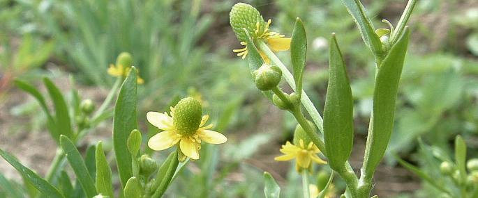 Celery-leaved buttercup - Dave Riseborough - Dave Riseborough
