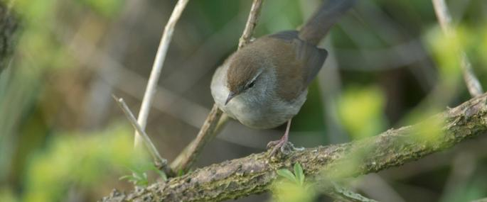 Cetti's warbler - northeastwildlife.co.uk - northeastwildlife.co.uk