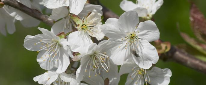 Wild cherry flowers - northeastwildlife.co.uk - northeastwildlife.co.uk