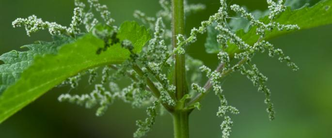 Stinging nettle - northeastwildlife.co.uk - northeastwildlife.co.uk