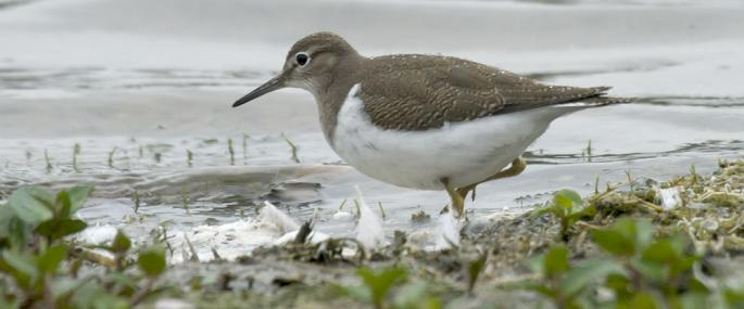 Common sandpiper - northeastwildlife.co.uk - northeastwildlife.co.uk