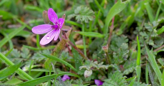 Common stork's-bill - northeastwildlife.co.uk - northeastwildlife.co.uk