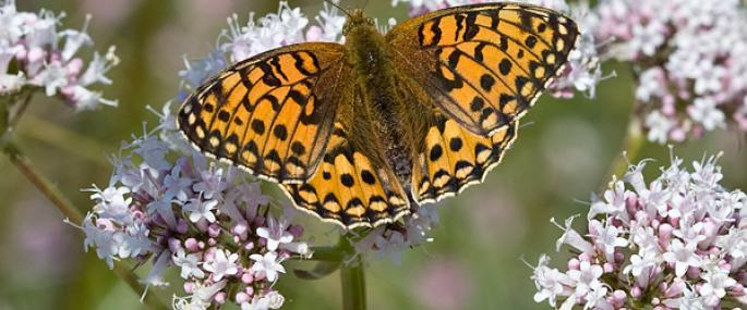 Dark green fritillary butterfly - Keith Warmington - Keith Warmington