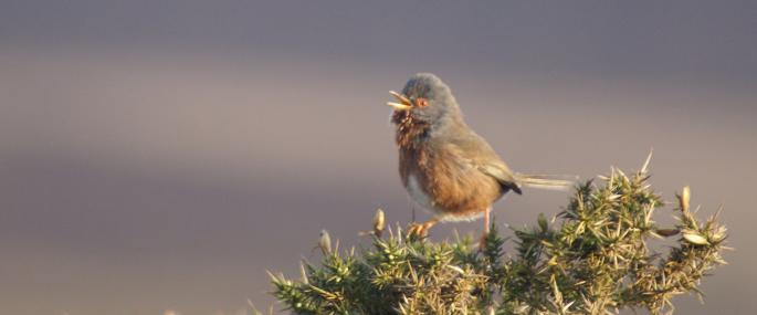 Dartford warbler - Vicky Nall - Vicky Nall