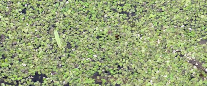 Duckweed - northeastwildlife.co.uk - northeastwildlife.co.uk