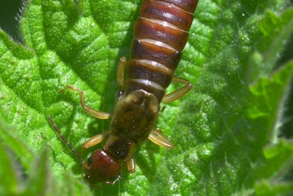 Earwig - northeastwildlife.co.uk - northeastwildlife.co.uk