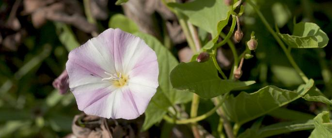 Field bindweed - northeastwildlife.co.uk - northeastwildlife.co.uk