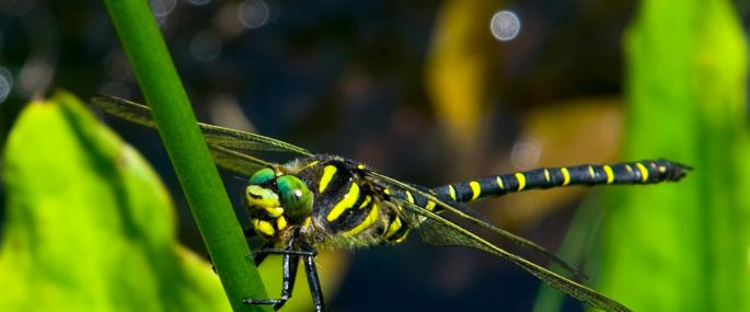 Golden-ringed dragonfly - Paul Blair - Paul Blair