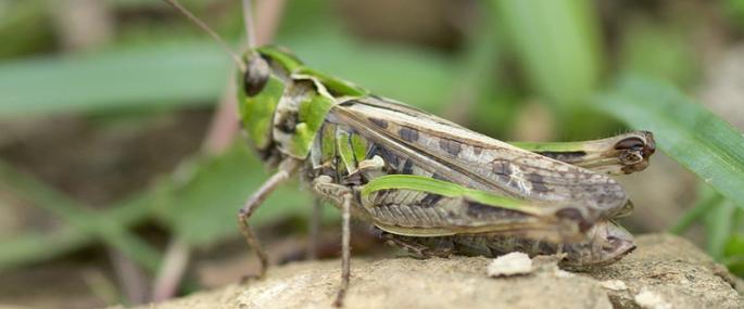 Green Grhopper