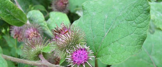 Greater burdock - Graham Gavaghan - Graham Gavaghan