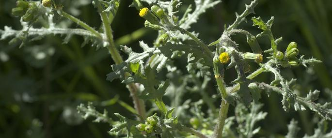 Groundsel - northeastwildlife.co.uk - northeastwildlife.co.uk