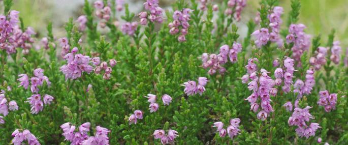 Heather - northeastwildlife.co.uk - northeastwildlife.co.uk