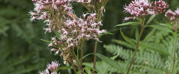 Hemp agrimony - northeastwildlife.co.uk - northeastwildlife.co.uk