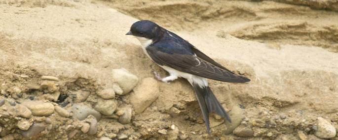House martin  - northeastwildlife.co.uk - northeastwildlife.co.uk