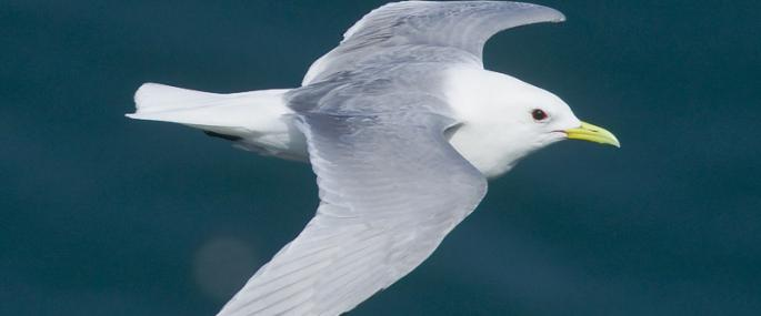 Kittiwake in flight - northeastwildlife.co.uk - northeastwildlife.co.uk