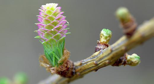 Larch 'in flower' - northeastwildlife.co.uk - northeastwildlife.co.uk