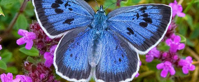 Large blue butterfly - Keith Warmington - Keith Warmington