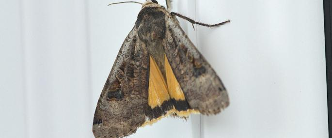 Large yellow underwing moth - northeastwildlife.co.uk - northeastwildlife.co.uk