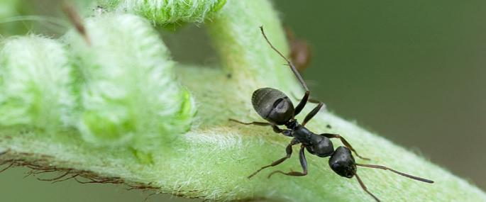 Great Black Garden Ant