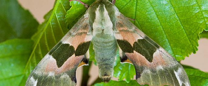 Lime hawkmoth - Keith Warmington - Keith Warmington