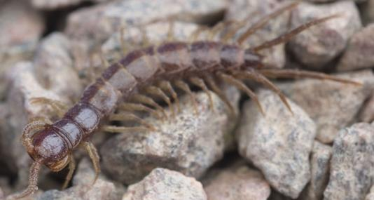 Common centipede - northeastwildlife.co.uk - northeastwildlife.co.uk