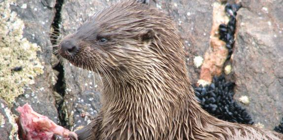 Otter feeding - Sue Crookes - Sue Crookes