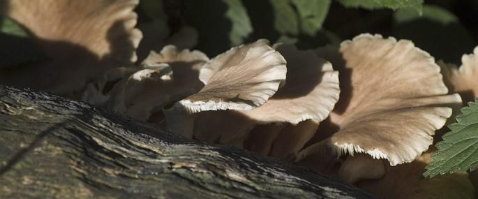 Oyster mushroom - northeastwildlife.co.uk - northeastwildlife.co.uk