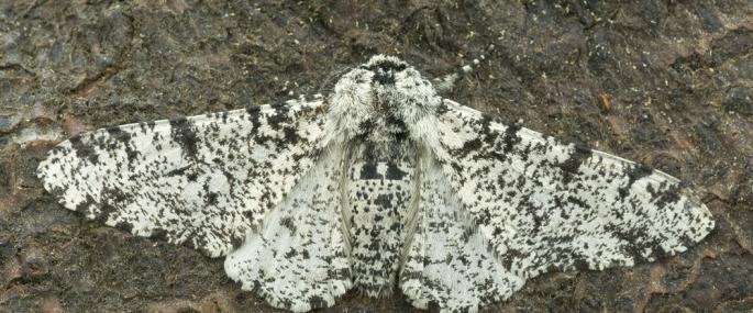 Peppered moth - northeastwildlife.co.uk - northeastwildlife.co.uk
