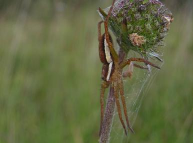 Raft spider - HWT - HWT