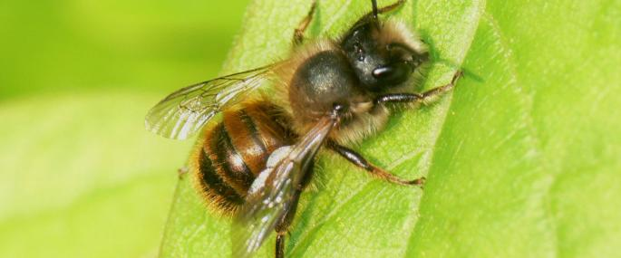 red mason bee wildlife trusts wales