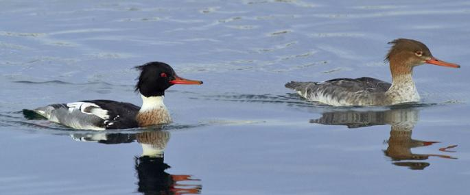 Red-breasted merganser pair - northeastwildlife.co.uk - northeastwildlife.co.uk