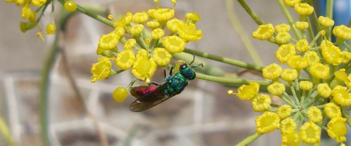 ruby-tailed%20wasp%20cpt%20Skol-louarn.jpg