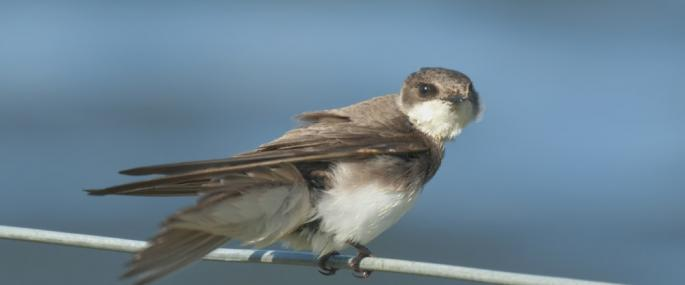 Sand martin - northeastwildlife.co.uk - northeastwildlife.co.uk